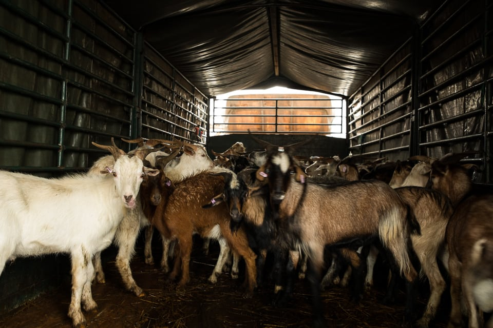 The goat await their turn in the back of a lorry.