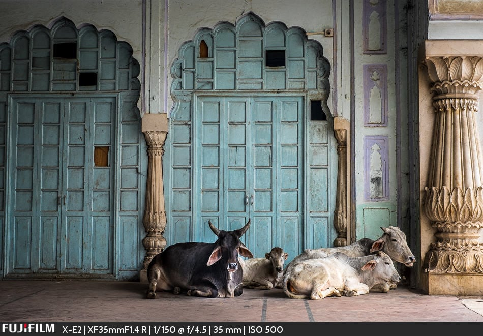 Cows relaxing inside the Palace walls.